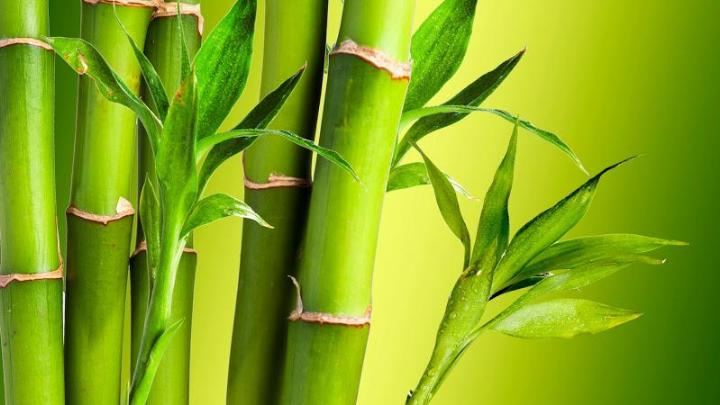 Bambu Nedir Bambu Ağacı Nerede Yetişir
